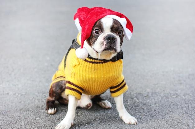 Terrier de boston cão bonito na camisola amarela e sessão de chapéu de papai noel