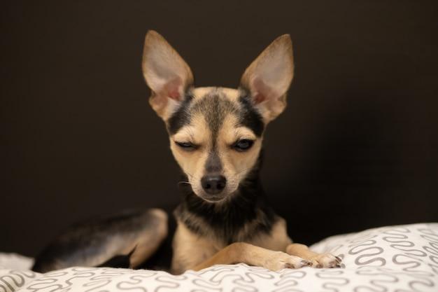 Terrier de brinquedo de cachorro com orelhas grandes pisca um olho