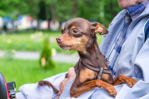Terrier de brinquedo russo cãozinho marrom nas mãos do proprietário_