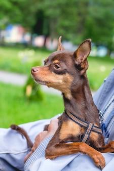 Terrier de brinquedo russo nas mãos do dono, o cachorro olha para o lado