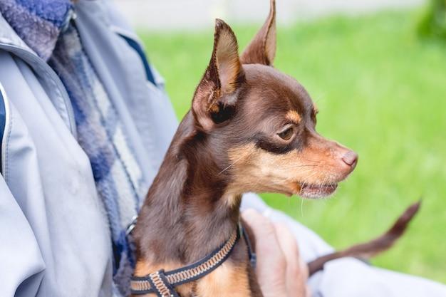 Terrier de brinquedo russo pequeno cachorro marrom nas mãos do proprietário