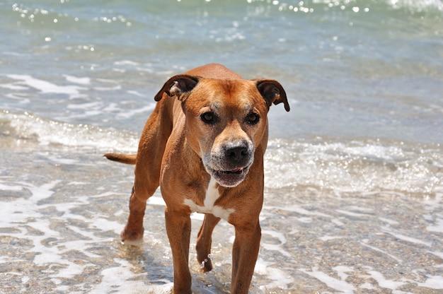 Terrier de pitbull americano vermelho mau