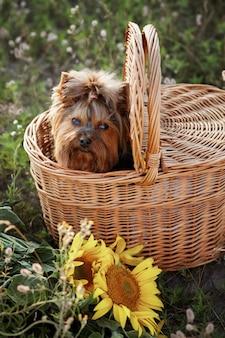 Terrier em uma cesta de piquenique no prado