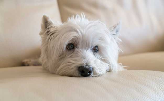 Terrier posando deitado no sofá