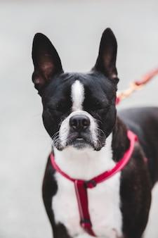 Terrier preto e branco de boston