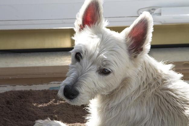 Terrier sol cão westie sonolento