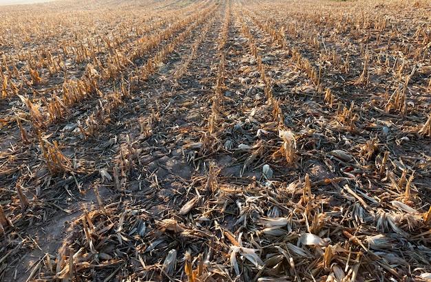 Território campo agrícola com restolho da colheita do milho