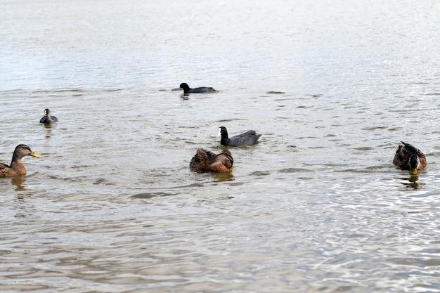 Território de lagos e rios com pássaros e patos que vivem lá, patos selvagens migratórios em lagos europeus, europa oriental com pássaros patos selvagens