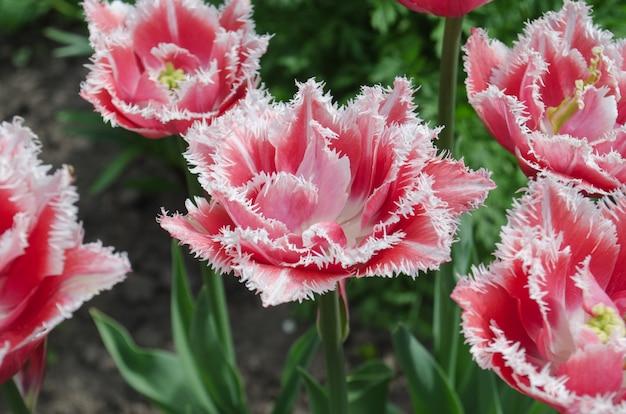 Terry franjou a tulipa no jardim.