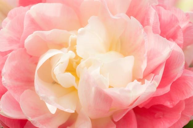 Terry tulipa rosa branca. foco seletivo macro. flor, fundo, cima