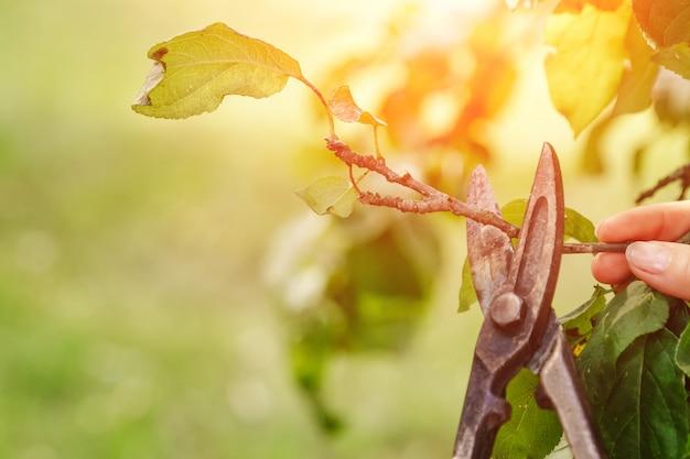 Tesoura de jardim cortada no jardim, close-up de tesoura, cópia espaço