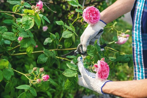 Tesouras da rosa do chá de poda do homem do jardineiro.