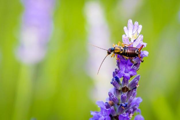 Tesourinha comum (forficula auricularia) em lavender (lavandula) no jardim