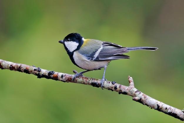 Teta japonesa parus minor belas aves da tailândia