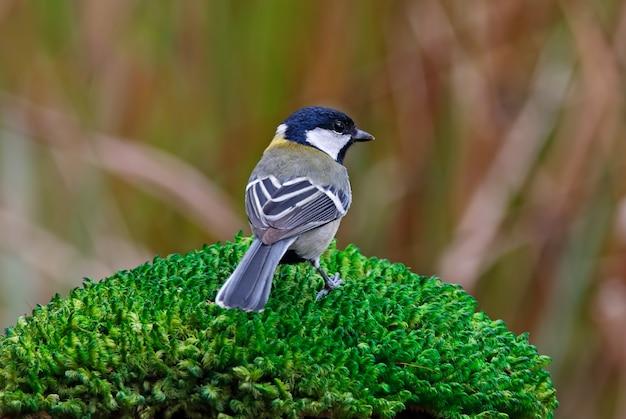 Teta parus menor aves da tailândia