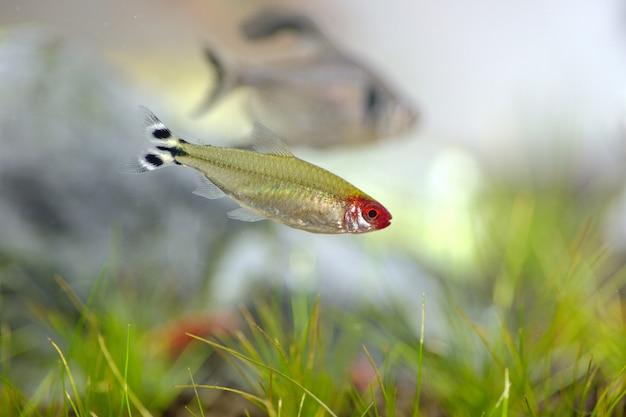 Tetra peixe no tanque