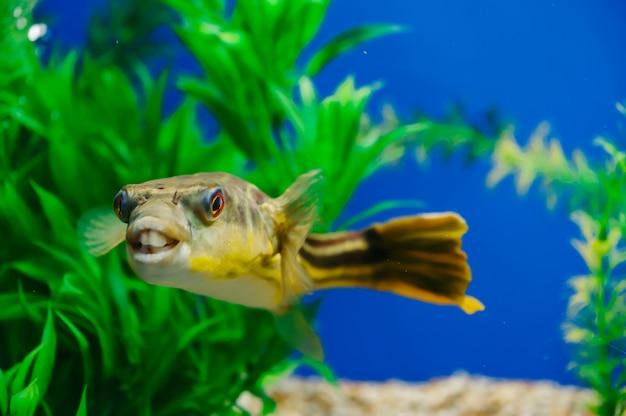 Tetraodon lineatus flutua em close-up do aquário. peixe predador dentuço amarelo.