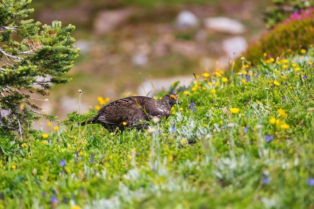 Tetraz azul exibindo cores durante a temporada de acasalamento em uma encosta coberta com um prado de flores Foto Premium