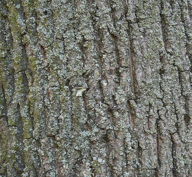 Textura da casca de árvore - acácia. parede para preenchimento de página da web ou design gráfico. padronizar. mapa para textura 3d. de madeira