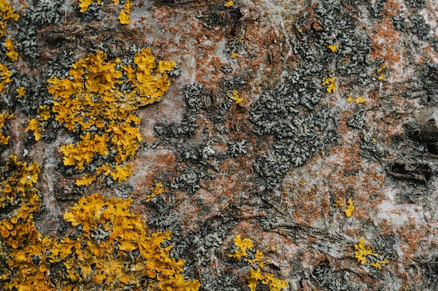 Textura da casca de árvore de bétula closeup