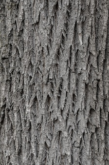 Textura da casca de árvore textura para o fundo.