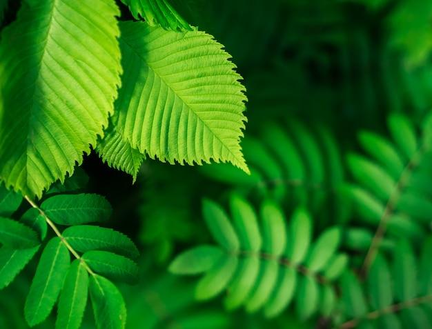 Textura da folha / fundo verdes da textura da folha / espaço da cópia. conceito de verão.