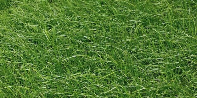 Textura da grama, superfície verde do gramado, campo. papel de parede natureza.