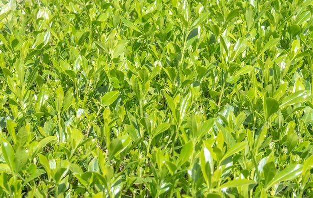 Textura da grama verde.