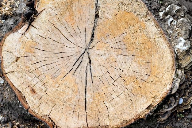Textura da seção transversal da árvore velha