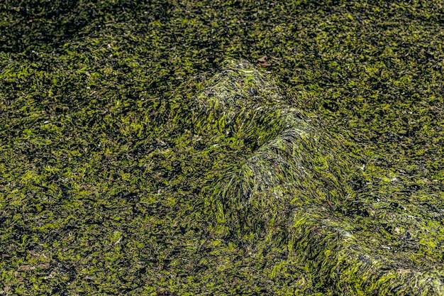 Textura de algas close-up costa do golfo de riga jurmala