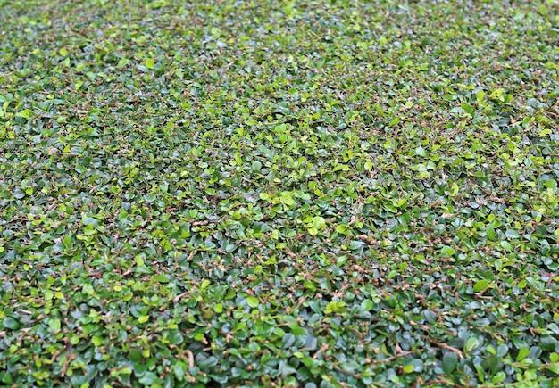 Textura de arbusto de corte