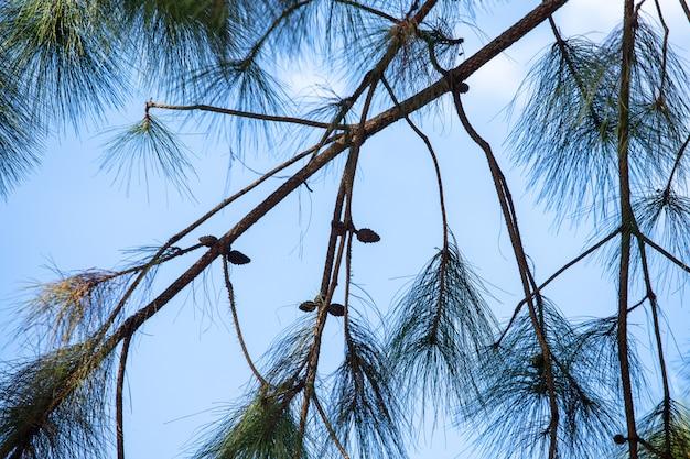 Textura de arbusto de pinheiro