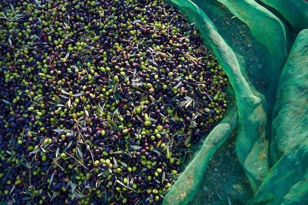 Textura de azeitonas na colheita com net