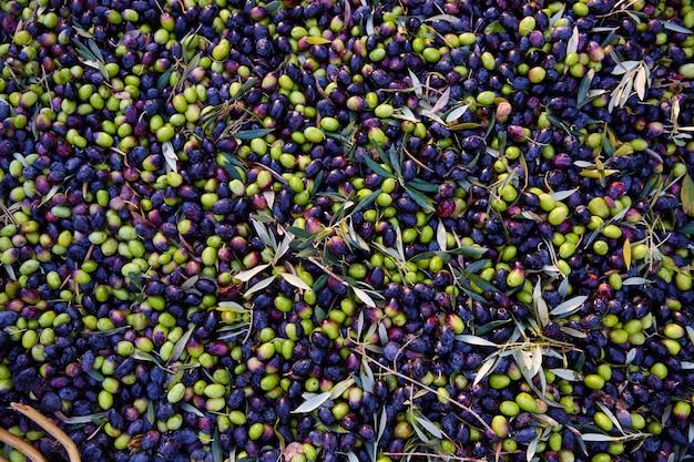 Textura de azeitonas na colheita no mediterrâneo