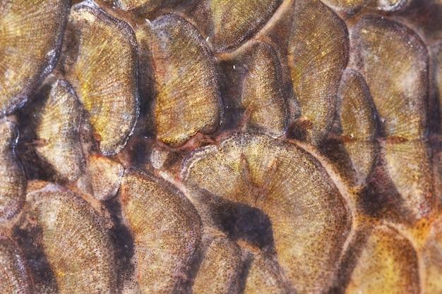 Textura de carpa de peixe