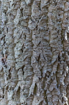 Textura de casca cinza de cortiça amur