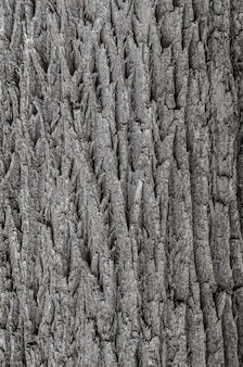 Textura de casca de pereira, textura de casca de árvore, textura de casca velha