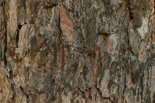Textura de casca de pinheiro, close-up e espaço para texto