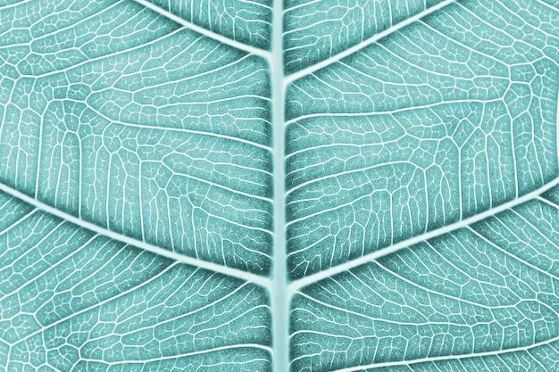 Textura de folha de bo azul perfeito
