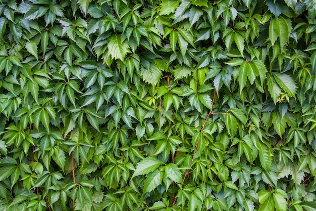 Textura de folha de hera, fundo verde