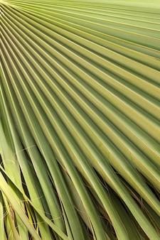 Textura de folha de palmeira verde