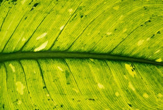 Textura de folha tropical verde.