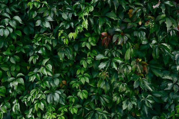 Textura de folha verde escura. folha tropical.
