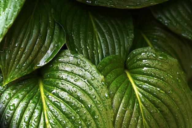 Textura de folha verde. folhas com gotas de água