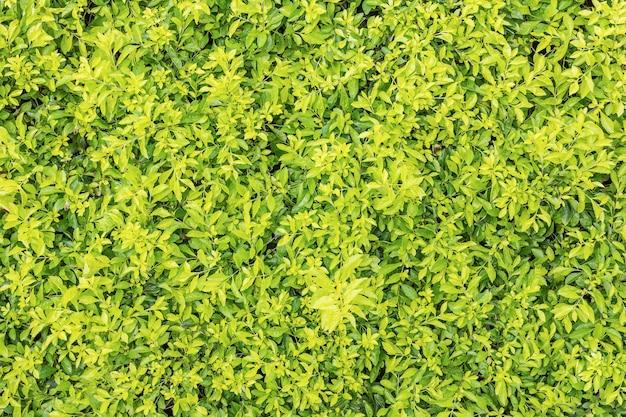 Textura de folha verde natural