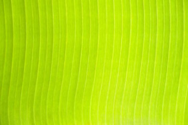 Textura de folhas de bananeira verde fresca