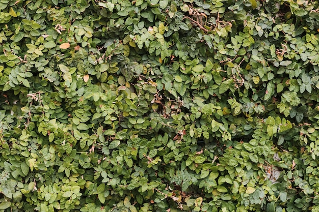 Textura de folhas de hedge colorido