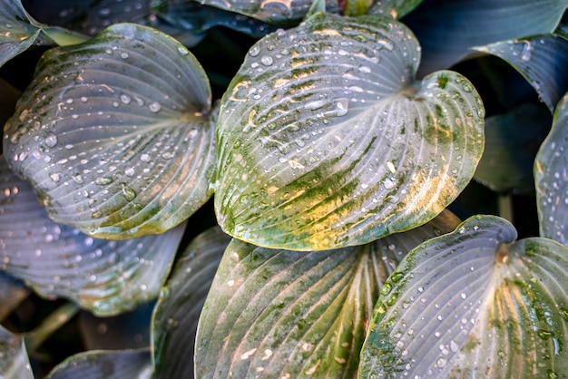 Textura de folhas no jardim coberta com gotas pela manhã