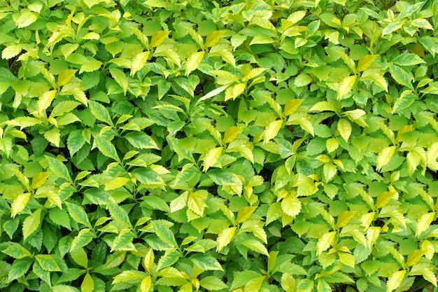Textura de folhas verdes para plano de fundo ou papel de parede