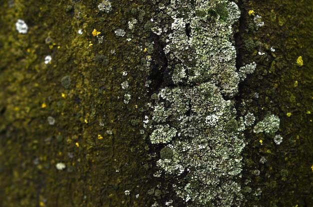 Textura de formação de fungo verde na casca de uma velha árvore em uma estação de inverno úmido